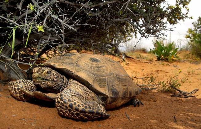 A desert tortoise finds relief from the sun under a bush in the Red Cliffs Desert Reserve north of St. George, Utah, Wednesday, April 18, 2001.