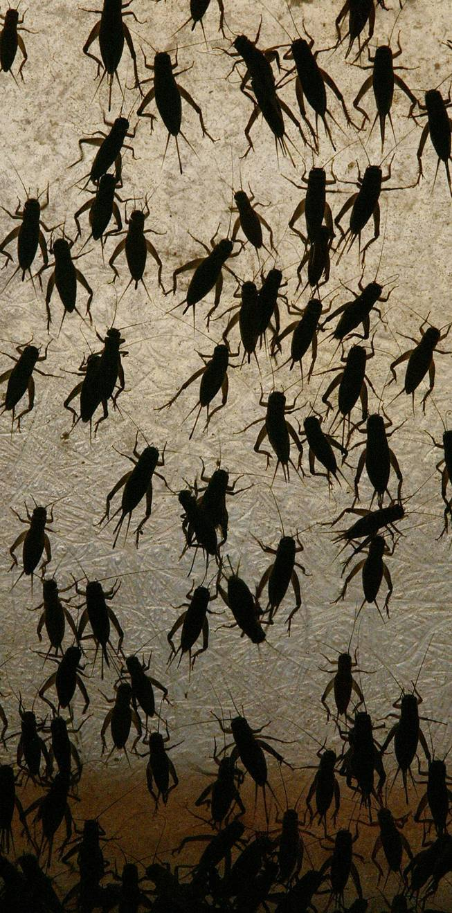 Crickets climb along the wall of a retaining box Monday, Sep. 9, 2002, at the Basset Cricket Ranch in Visalia, Calif.
