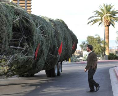 It measures a staggering 109 feet tall, and as of last night, Las Vegas has it now! The Christmas Tree delivered from Oregon to The M Resort will rise ...
