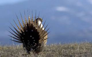 This undated image provided by the Wyoming Game and Fish Department shows a sage grouse in the wild.