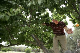 John DeLee picks an apricot from a tree on his land in Amargosa Valley Thursday, June 4, 2009.
