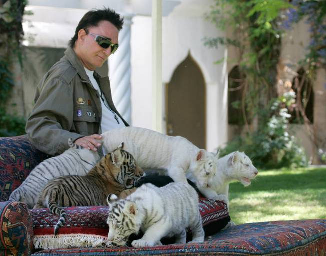 Roy Horn of the illusionist team Siegfried & Roy plays with six-week-old white, white-striped and golden tiger cubs at his Las Vegas home on Thursday June 12, 2008.