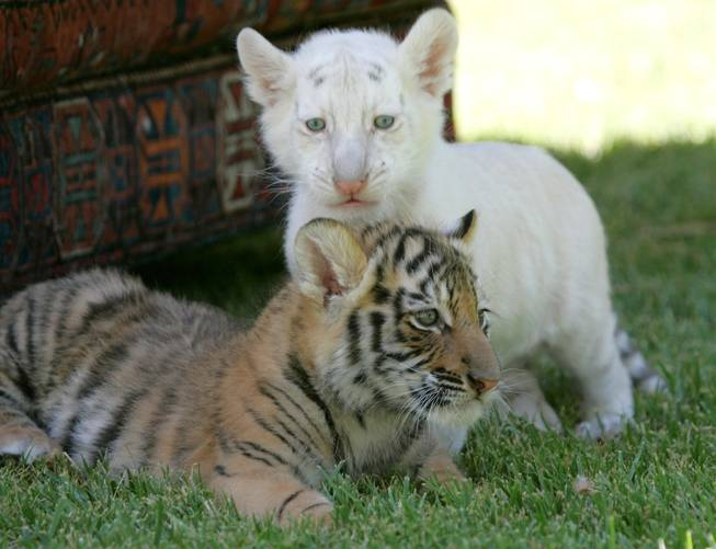 A pair of cubs which are the newest addition to Siegfried & Roy's Secret Garden and Dolphin Habitat at The Mirage.