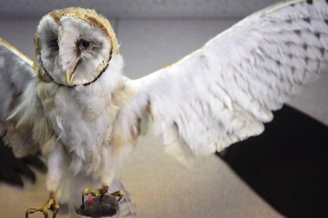 The barn owl, on display at the Henderson Bird Viewing Preserve, is one of the many birds considered a raptor.