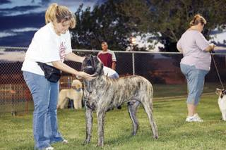 In preparation for the Black Mountain Kennel Club dog show, Heather Aguilera gives Abrams, her 9-month-old mastiff, instructions and praise during training class at Pecos Legacy Park.