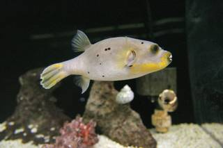 A puffer fish swims in a tank at the marine science lab at McDoniel Elementary School.