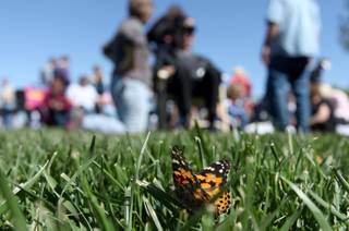 A butterfly sits in the grass after being released Saturday during the annual John Anderson Celebration of Life Live Butterfly Release, sponsored by the Nathan Adelson Hospice. Hundreds of black and orange Painted Lady butterflies were released into the sky as a symbolic tribute to lost loved ones.