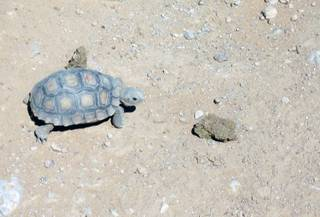 A baby tortoise wanders around a new pen at the Desert Tortoise Conservation Center on Thursday.