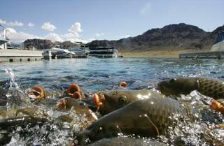 Carp go on a feeding frenzy for a tourist's popcorn next to the docks of the Lake Mead Marina.