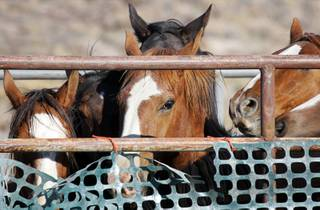 Wild horses are shown after being captured during a gather near Tonopah, Nev. Thursday, September 16, 2010. The Bureau of Land Management gathered 54 horses outside of a Herd Management Area Thursday as part of their efforts to reduce the wild horse and burro population.