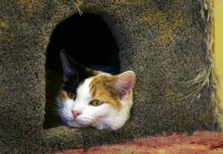 A calico cat named Cookie Dough looks out from a cat condo at the Nevada SPCA animal shelter Tuesday, Feb. 8, 2011.