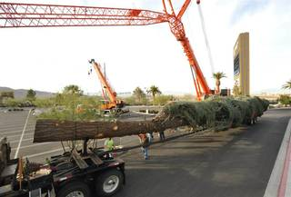 A 109-foot-tall Christmas Tree, the tallest in the U.S., is delivered to The M Resort on Dec. 1, 2009.