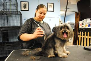Ashley Watkins gives Susie, a Yorkshire terrier mix, a buzz on Friday, March 25, 2011. Watkins is one of the groomers at Sniffany and Co., a pet boutique that opened its second location on Rainbow Boulevard last year.