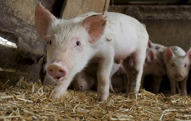 A piglet warily eyes the camera at R.C. Farms in North Las Vegas, April 6, 2011. Pigs at the farm are fed with food scraps recycled from Las Vegas casinos and other businesses.