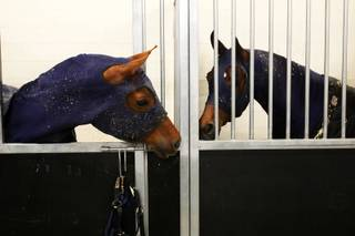 Horses wait their turn in their stalls in the barn area during the 5th Annual Arabian Breeders World Cup Arabian Horse Show at the South Point Equestrian Events Center in Las Vegas Thursday, April 14, 2011.