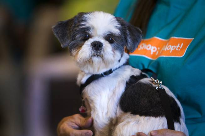 Patty, a 3-year-old female Shih Tzu, waits on her handler's lap backstage during the Animal Foundation's 8th annual Best in Show event at the Orleans Arena May 1, 2011.