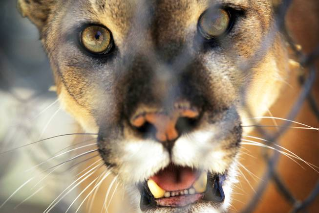 A mountain lion at the Southern Nevada Zoological-Botanical Park on Friday, June 10, 2011.
