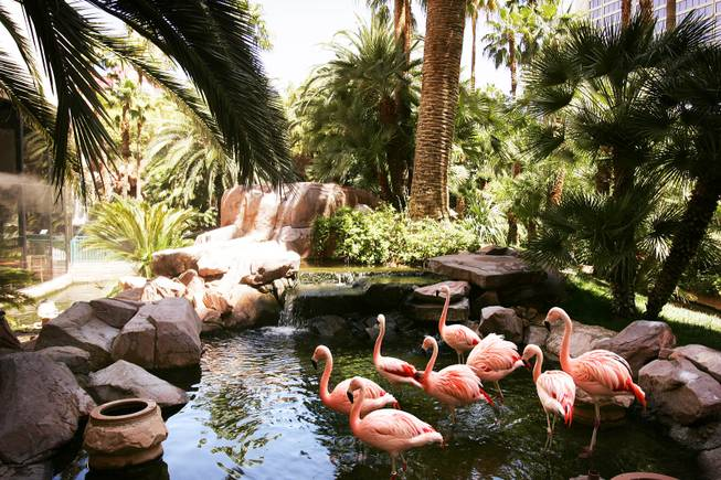 Chilean flamingos congregate in a pond inside the Wildlife Habitat at the Flamingo in Las Vegas Tuesday, June 14, 2011.