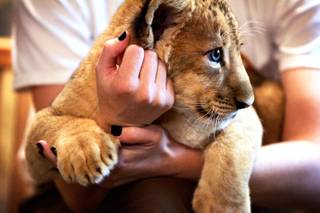 One of the 8-week-old baby lions at the Lion Habitat at MGM Grand in Las Vegas on Friday, June 17, 2011.