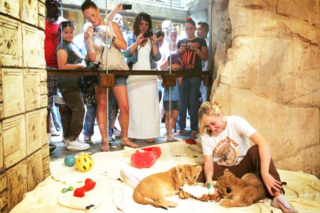 Trainer Katie Massey plays with 8-week-old lions at the Lion Habitat at MGM Grand in Las Vegas on Friday, June 17, 2011.