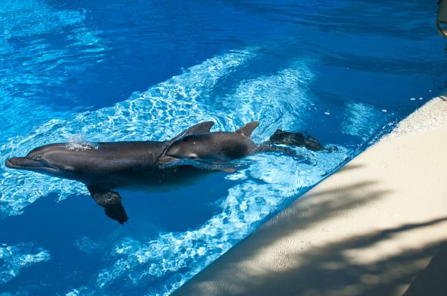 A 2-week-old dolphin calf swims with his and sister, Huf n Puf, at Siegfried & Roy's Secret Garden and Dolphin Habitat, July 20, 2011.
