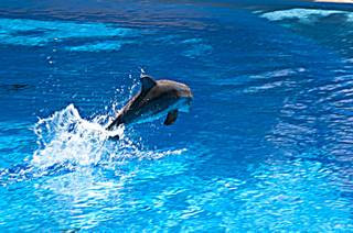 A 2-week-old dolphin calf jumps out of the water at Siegfried & Roy's Secret Garden and Dolphin Habitat July 20th, 2011.