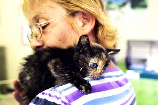Lara Rodriguez, the front office manager and foster coordinator for the Nevada SPCA, plays with Isabella, one of the kittens she is fostering, on Friday, Aug. 26, 2011.