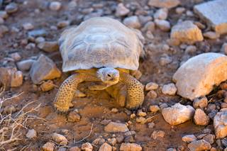 A Mojave Desert tortoise is shown in a quarantine area at the Desert Tortoise Conservation Center in Las Vegas on Friday, Sept. 2, 2011. The tortoise, some kept by people as pets, will be returned to the wild when they are healthy enough to leave.