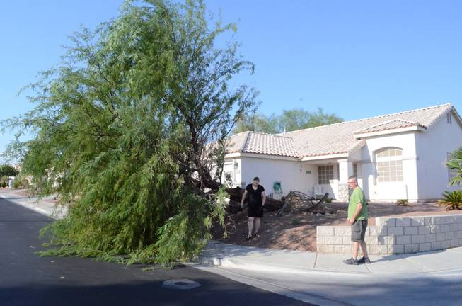 "A brief, intense windstorm blew through parts of Henderson after  5 p.m. Thursday, Sept. 8, 2011, toppling this 30-foot mesquite tree in the front yard of Derek and Julie Jones at the corner of Leaf Bud Court and Teal Point Lane.  ""We're just lucky,"" Derek Jones said, ""that the wind was blowing the direction it did, otherwise it would have landed on our house.""  His pregnant wife remarked that her son will grow up without knowing what it's like to have a tree in the yard."