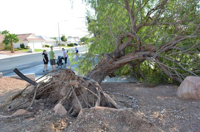 "Derek and Julie Jones talk to neighbors after their 30-foot mesquite tree was uprooted after a brief, intense windstorm swept through parts of Henderson after 5 p.m. Thursday, Sept. 8, 2011. The couple live at the corner of Leaf Bud Court and Teal Point Lane.  ""We're just lucky,"" Derek Jones said, ""that the wind was blowing the direction it did, otherwise it would have landed on our house.""  His pregnant wife remarked that her son will grow up without knowing what it's like to have a tree in the yard."