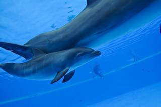 The newest addition to The Mirage's family of bottlenose dolphins, a 3 and a half week old male calf, swims with his mother