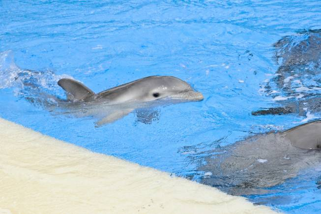 "The newest addition to The Mirage's family of bottlenose dolphins, a 3 and a half week old male calf, swims with his mother ""Huf n Puf"" at Siegfried & Roy's Secret Garden and Dolphin Habitat Tuesday, September 13, 2011."