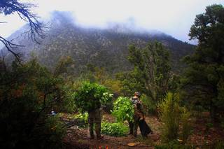 Law enforcement officers haul away plants during a raid of a marijuana grow operation in the Carpenter Canyon area of the Spring Mountains on Wednesday, Sept. 14, 2011.