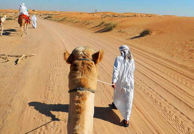 In Dubai, United Arab Emirates, camel riding is a main tourist attraction on the outskirts of the city. December  2011.