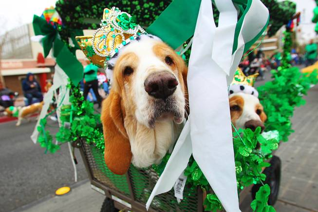 Dogs from Las Vegas Basset Rescue take part in the St. Patrick's Day parade in Henderson Saturday, March 17, 2012.