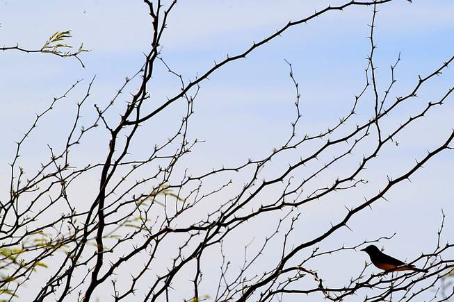 A bird rests in the branches of a mesquite tree at Clark County Wetlands Park Thursday, April 12, 2012.