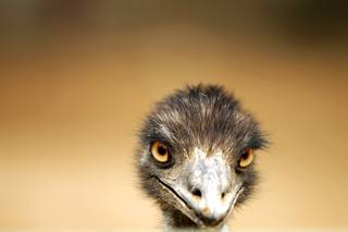 An emu from Australia at the Gilcrease Nature Sanctuary in Las Vegas on Wednesday, April 25, 2012.