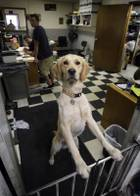 Boone, a golden retriever, keeps an eye on things at Wally's Independent Honda & Acura Service May, 5, 2012.