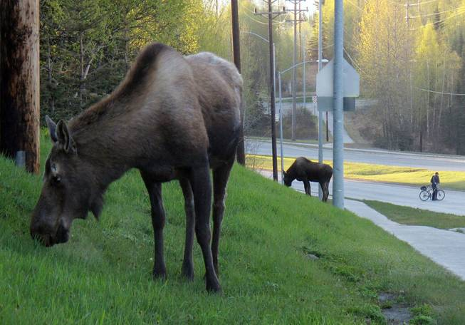A bicyclist moves away from the sidewalk as two moose graze along Northern Lights Boulevard in Anchorage, Alaska, on Friday, May 18, 2012. Friday is Bike to Work Day in Anchorage, and thousands of people were expected to give up their cars in favor of pedal power.