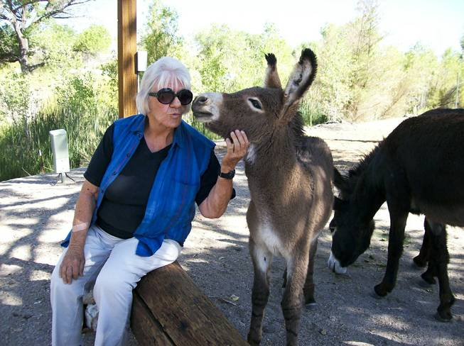 Betty J (BJ) Carter interacts with a burro named Bekka that is part of group of burros that are commonly seen roaming Beatty, NV.