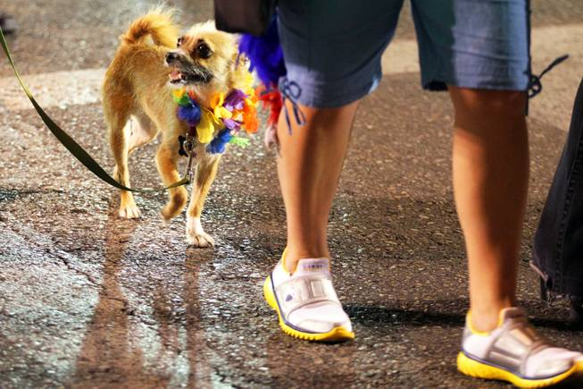Max the dog walks in the 2012 Las Vegas PRIDE Night Parade in downtown Las Vegas on Friday, September 7, 2012.
