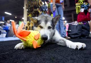 Sydney, a 4-year-old Alaskan Malamute, tries out a toy at the Tuffy-Mighty Dog toy booth during SuperZoo, a trade show for the pet industry, at the Mandalay Bay Convention Center Tuesday, Sept. 11, 2012.