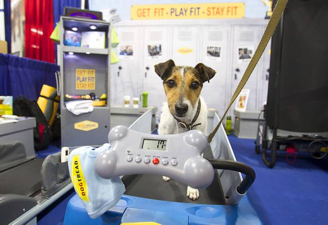 "A Jack Russell terrier exercises on a DogTread treadmill during SuperZoo, a trade show for the pet industry, at the Mandalay Bay Convention Center Tuesday, Sept. 11, 2012. The Utah-based company has pet treadmills ranging in price from $399.00 (the ""Mini"") to $1399.00 for extra-large dogs. The Mini, the smallest pet treadmill on he market, will be available in January 2013."