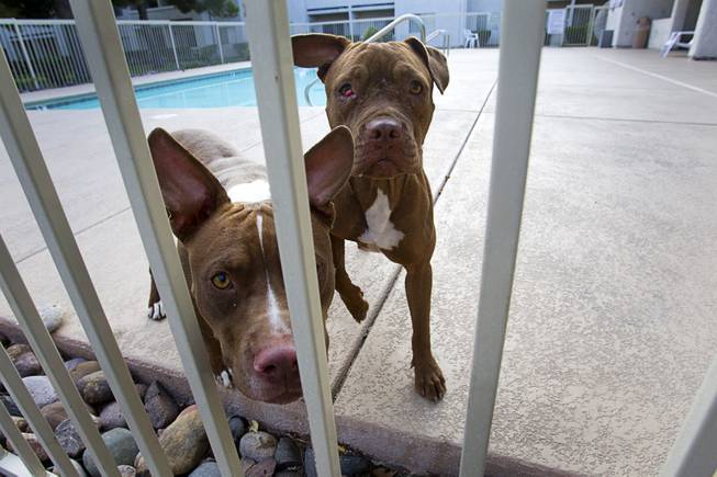 A pair of stray pit bulls, confined in an apartment pool area on East Charleston Boulevard, look through the fence Thursday Sept. 20, 2012. The dogs were taken to the Lied Animal Shelter.