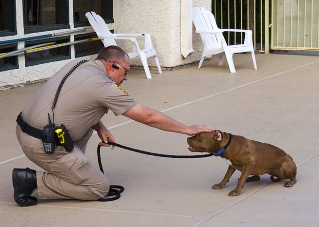Clark County Animal Control Officer Darryl Duncan pets a stray pit bull in the pool area of an apartment complex on East Charleston Boulevard Thursday Sept. 20, 2012. Duncan roped the dog when she did not come to him voluntarily.