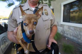 Clark County Animal Control Officer Darryl Duncan holds a blind Chihuahua Thursday Sept. 20, 2012. Duncan was called to pick up the dog from an assisted living facility after the owner died.
