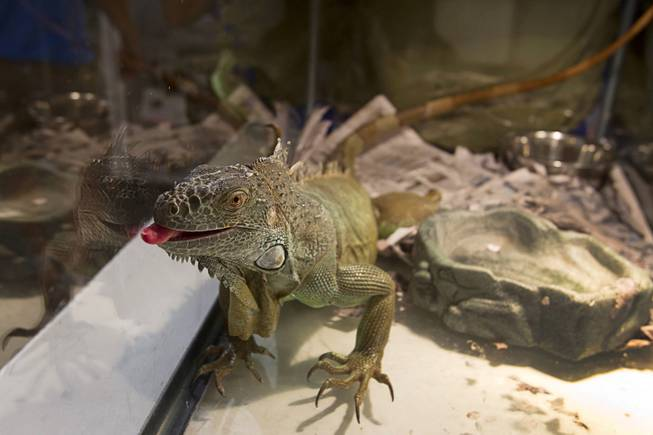 A three-foot-long iguana looks out from a reptile tank at the  Lied Animal Shelter Thursday Sept. 20, 2012. Clark County Animal Control Officer Darryl Duncan picked up the iguana from a car after the owner was arrested.