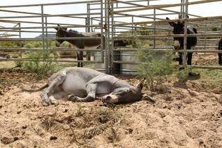 A male burro lies in the cool dirt and relaxes during the Bureau of Land Management wild burro adoption event held at Oliver Ranch in Red Rock Canyon Saturday, September 22, 2012.