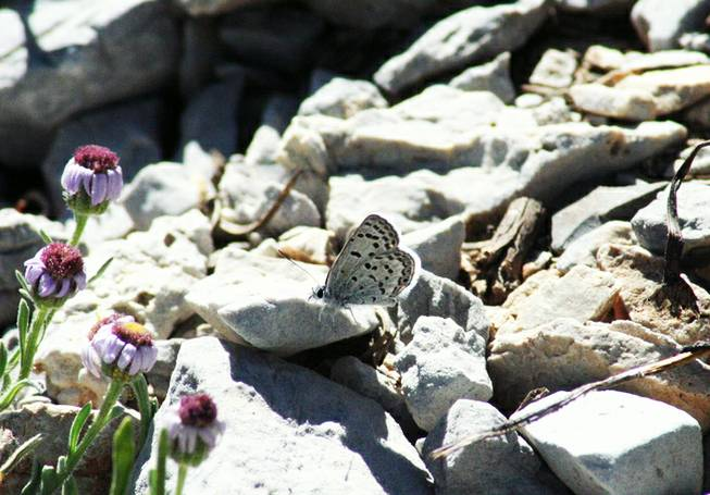 Mt. Charleston Blue Butterfly