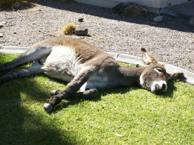Jackpot, a burro that is part of group of burros that are commonly seen roaming Beatty, NV, rest on someone's lawn .